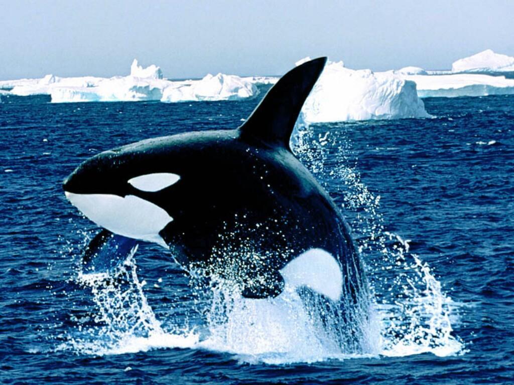 animals wildlife orca picture - photo #7