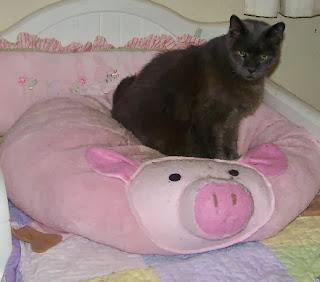 Diabetic Cat Chubby Enjoying his Piggy Bed