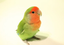 Harga Lovebird nonklep