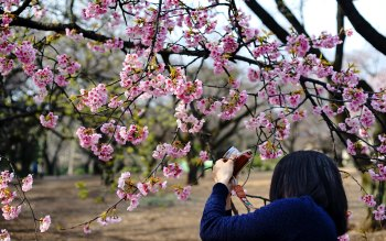 Wallpaper: Cherry Blossom taken by Girl