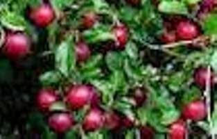 buah plum mungkin kurang begitu popular sebagai konsumsi harian bagi kebanyakan masyaraka 7 Manfaat Buah Plum Untuk Kesehatan