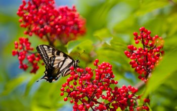 Wallpaper: Butterfly on red fruits