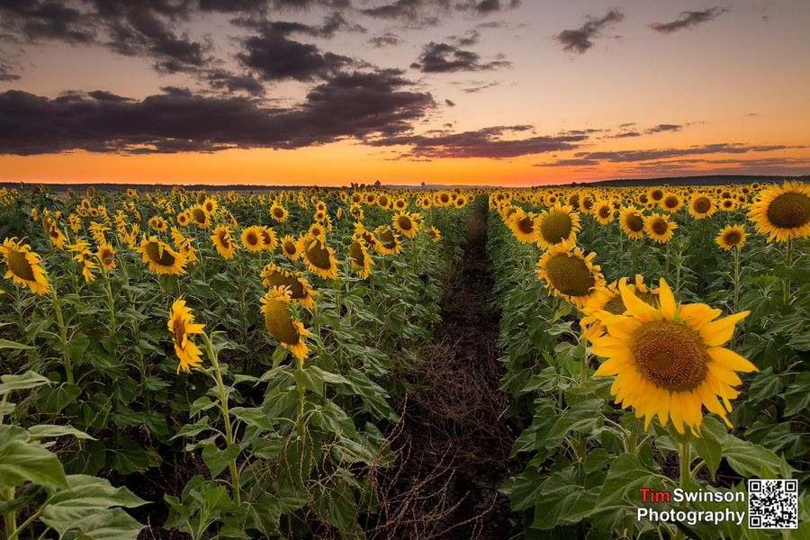 11. Sunflowers by Timothy Swinson