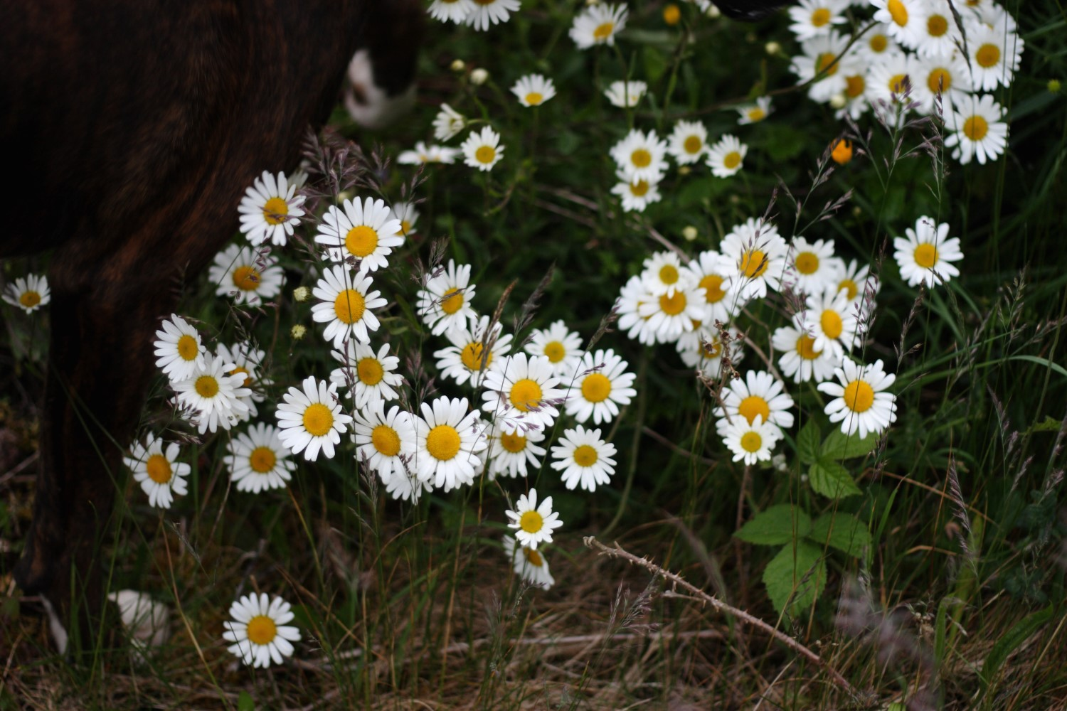 Vratsagirl In Love With Daisies