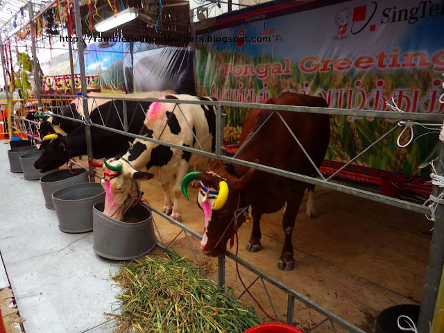 Painted cows, Pongal Festival, Singapore