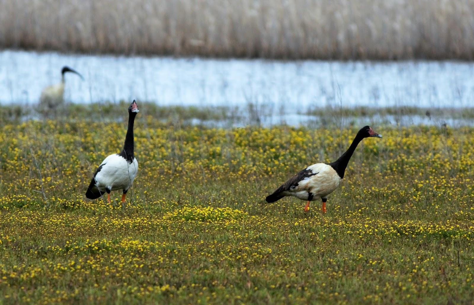 Sunshinecoastbirds South East Oz Part 5 Torquay To