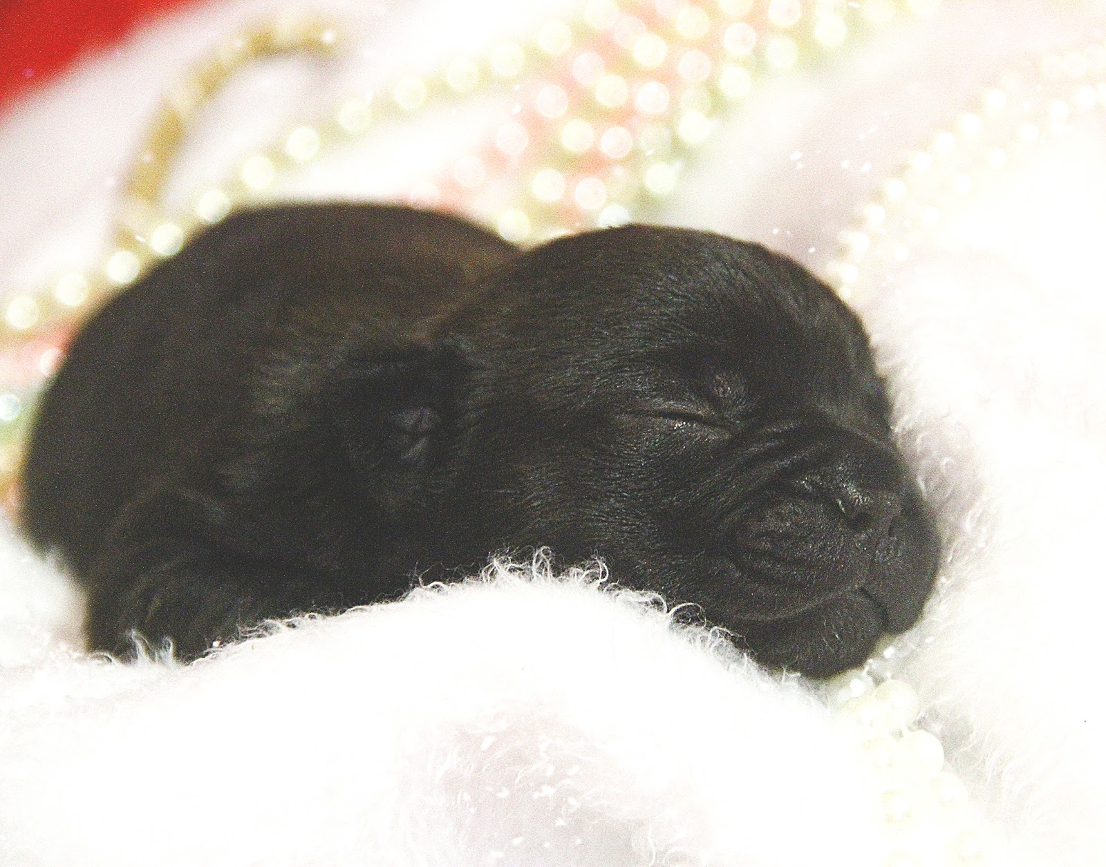 ensaio fotográfico newborn pet buldogue francês