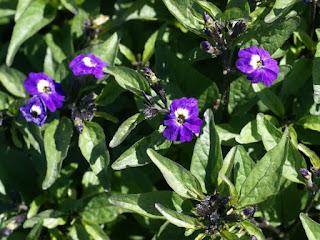 Browalle visqueuse - Browallia viscosa