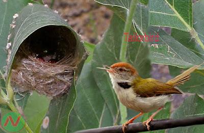 tailorbird, টুনটুনি