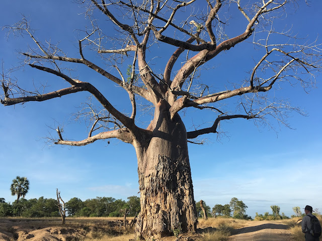 A mighty baobab tree - Liwonde National Park, Malawi