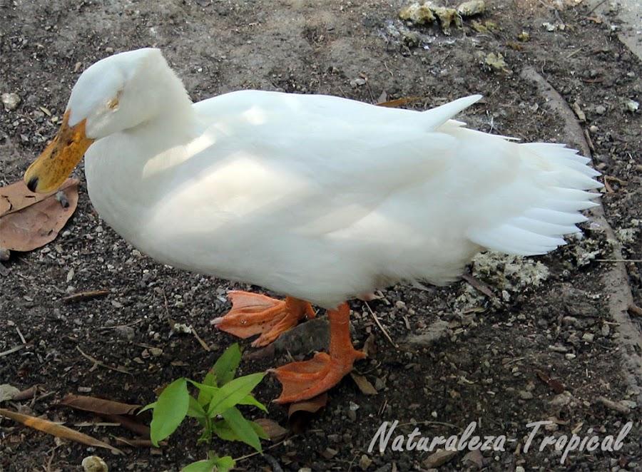 Pato doméstico de pie, Anas platyrhynchos domesticus