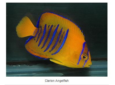 Clarion Angelfish