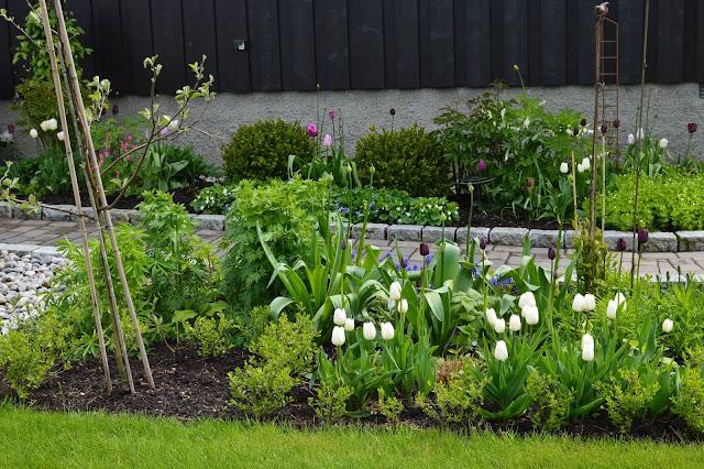 Tulipaner og hekk i vekst.