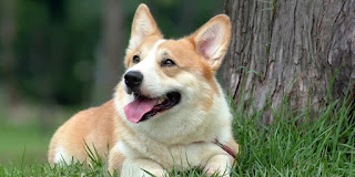 Everything about your Pembroke Welsh Corgi