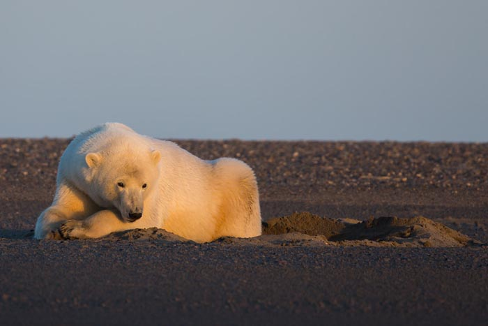 Gorgeous Polar Bear Photography by Photographer Patty Waymire