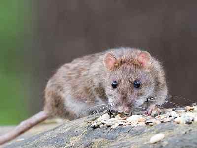 Pet Animals Name Rat