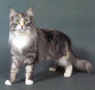 Maine Coon Cat Picture Animals Library