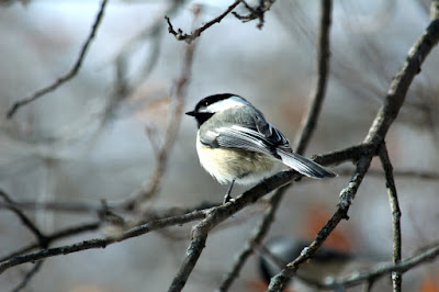 puffed up chickadee