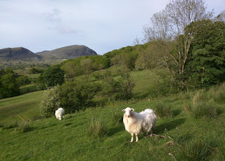 Alert sheep in the late day sun, Ffestiniog, Wales