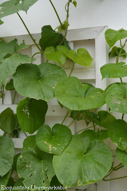 Morning Glory leaves on a wall