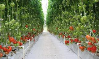 Sayuran Hidroponik Tomat