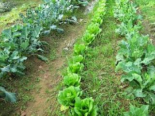 κήπος-λαχανικά