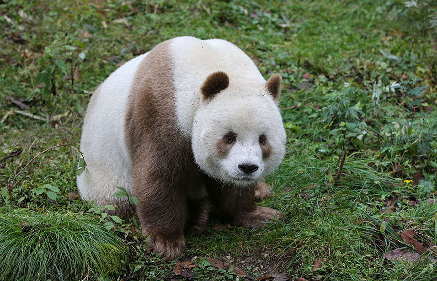 The World's Only Brown Panda Who Was Abandoned As A Baby, Finally Finds Happiness - The motherless panda has always been different, so other pandas would steal his food, making his childhood really tough