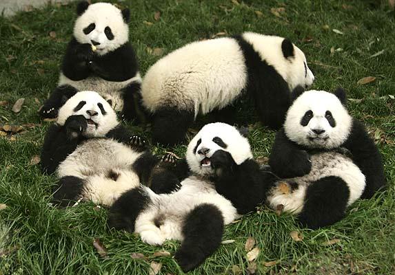La Vida Es Bella: Osos Panda