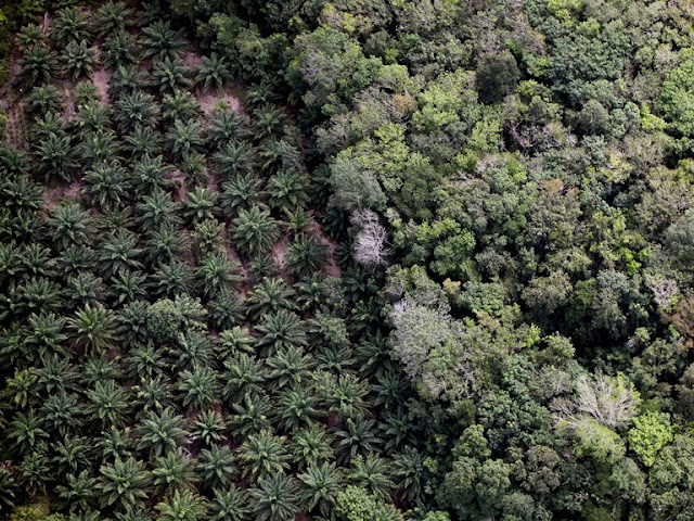 Deforestazione e Palme da Olio