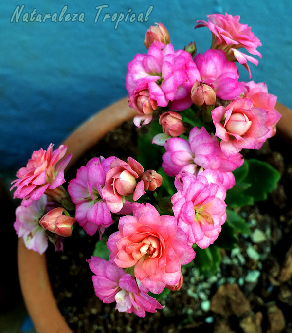 Flores rosadas dobles del Kalanchoe blossfeldiana