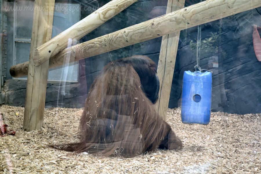 Orangutangs at colchester zoo
