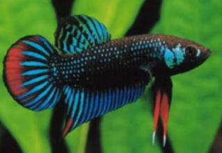 Ciri ciri tubuh ikan cupang aduan yang bagus
