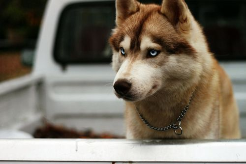 Siberian Husky Dog Breed Information And Pictures Pets Planet