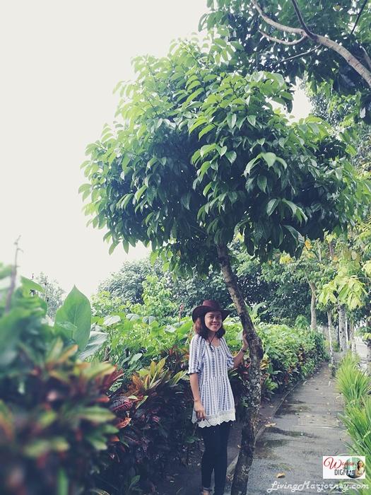 Bicol-Pili-Tree