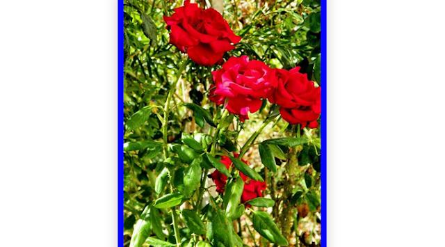 Άνθη με ιστορία τριαντάφυλλο (Αγριοτριανταφυλλιά)