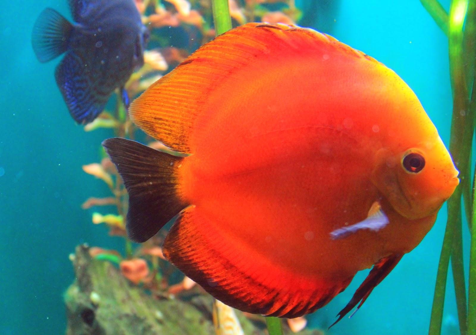 ikan hias paling di geamri di indonesia