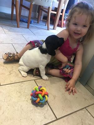 sophie eevee puppy springer spaniel