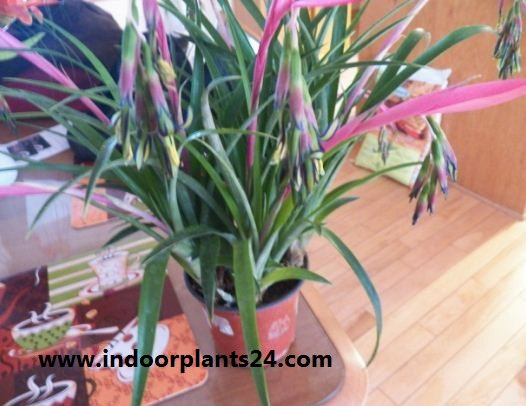 Billbergia Nutans indoor house plant