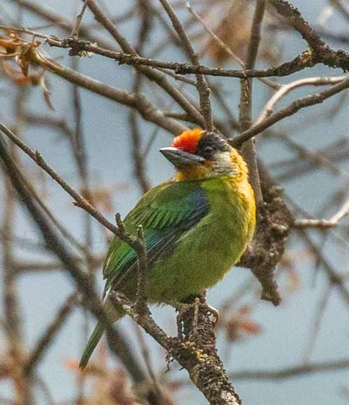 Indian birds - Image of Golden-throated barbet - Psilopogon franklinii