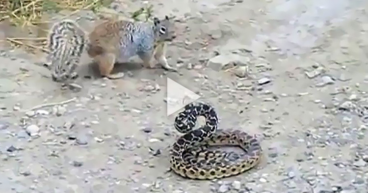 Brutal fight between a Squirrel and a Snake