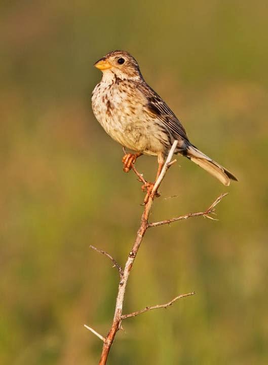 european bunting birds