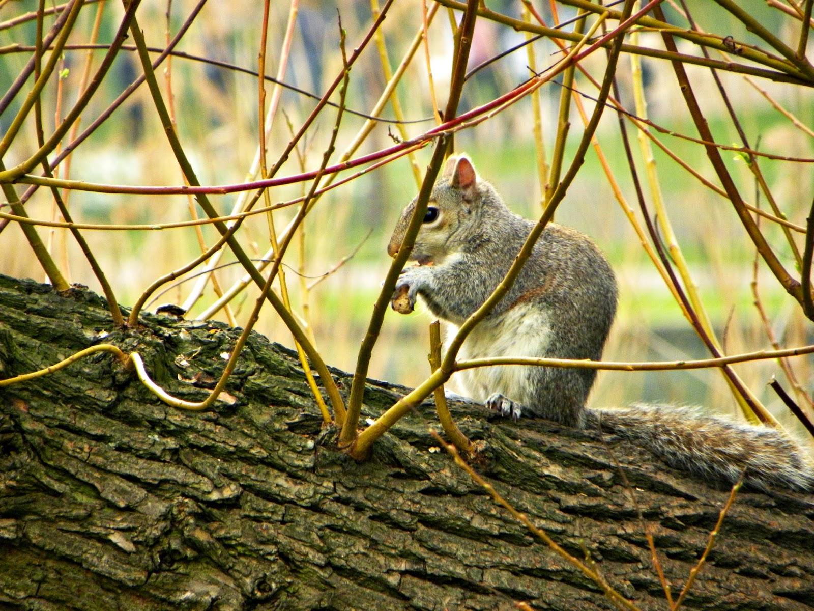 Esquilo-Parque-Londres