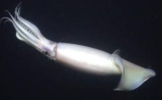 Calamar Humboldt