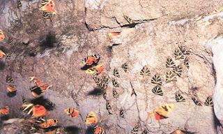 Cep Telefonları Kelebeklere Zarar Veriyor!