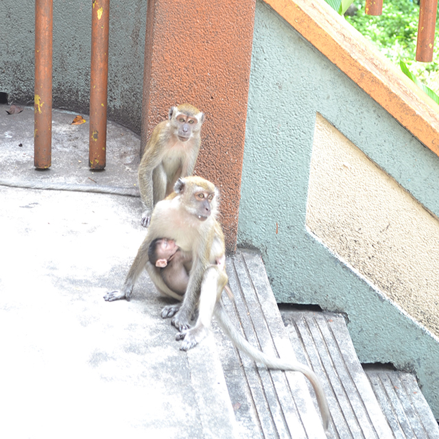 Goa Batu Malaysia, objek wisata di malaysia, tourism object in Malaysia, monkeys