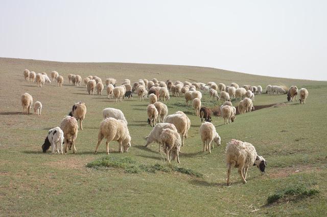 Moutons en liberté en Mongolie intérieure