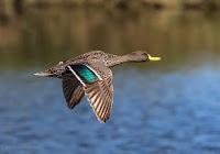 Yellow-Billed Duck in Flight Woodbridge Island, Cape Town - Canon EOS 7D Mark II