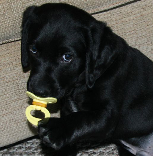 cute black lab puppies rexy is tubby 7567