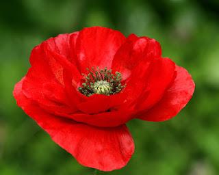 Цветок имени Евгения – мак