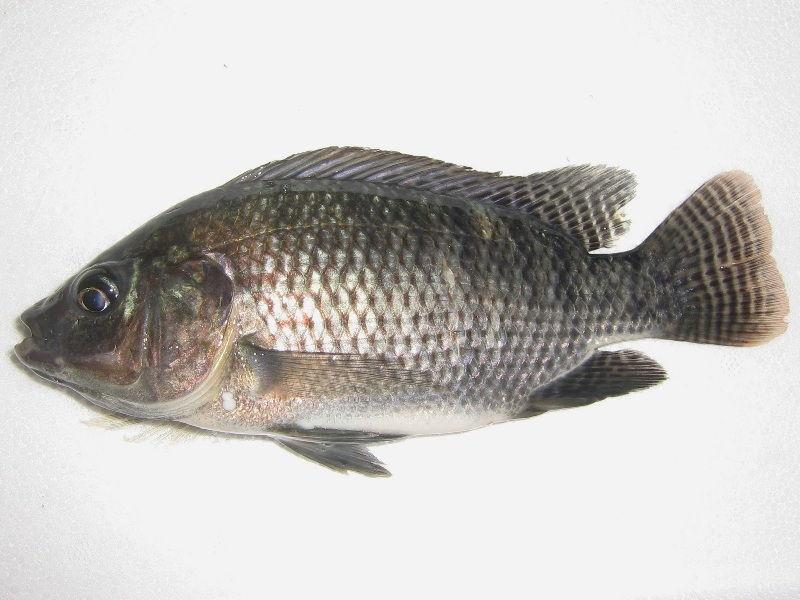 budidaya ikan nila di kolam beton